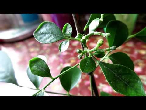 Новинка. Комнатный цветок. Муррайя метельчатая \ Indoor Flower. Murraya paniculata