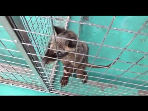 Kopi Luwak: Cruelty in Every Cup