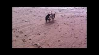 Layla And Ozzy Doing Border Terrier Stuff On Exmouth Beach