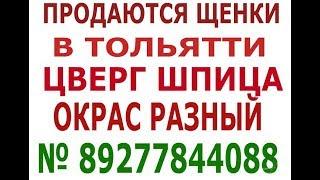 Померанский шпиц в  Тольятти № 89277844088 Виктория