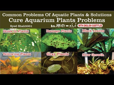 Common Problems Of Aquarium Plant Deficiencies : Yellow & Damage Leaves # Plants Not Growing
