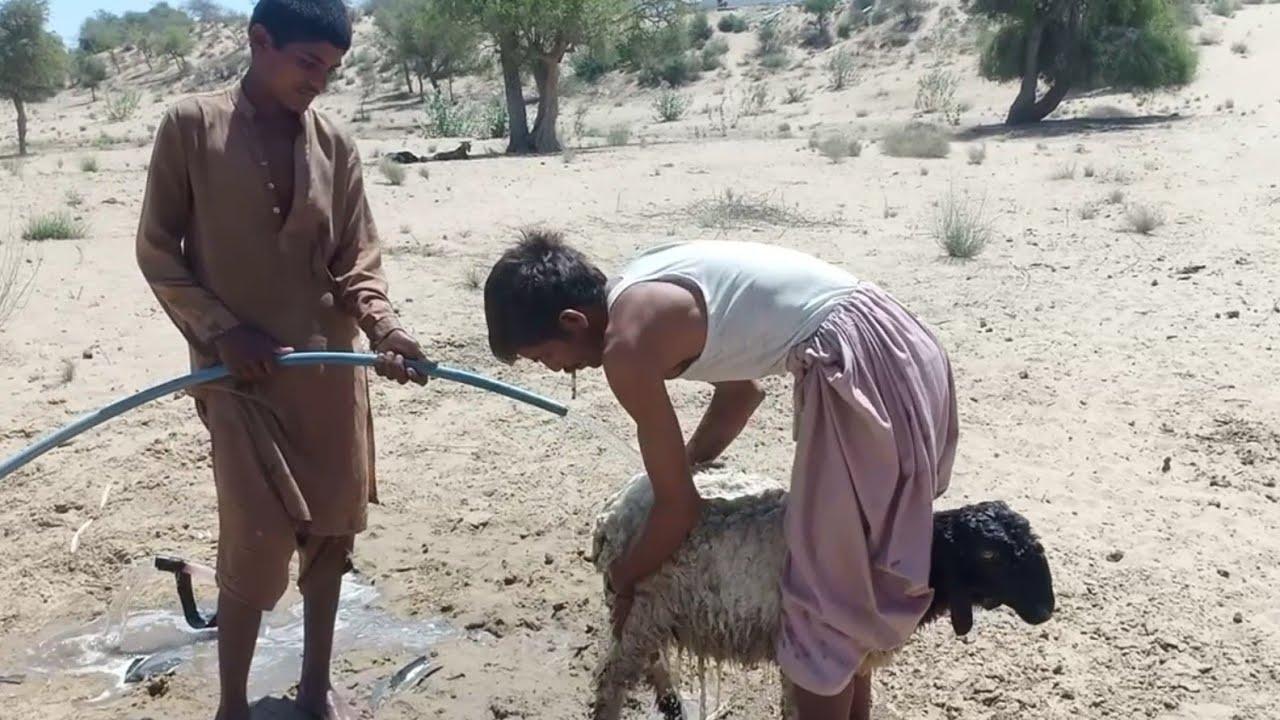 Sheep Washing At Submersible Water Pump