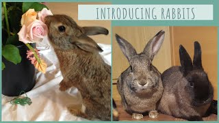 Introducing Rabbits to each other - Bonding Rabbits