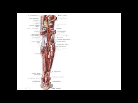 вены и артерии человека анатомия