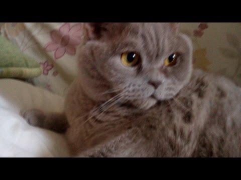 Британский кот прикольная реакция