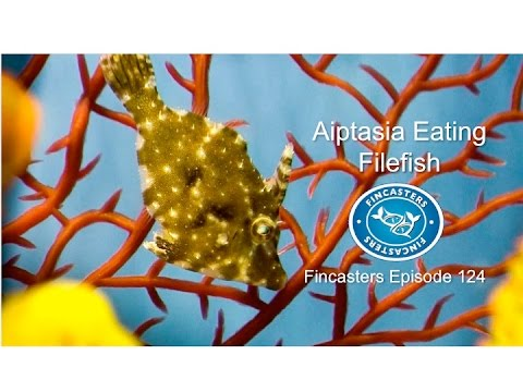Aiptasia Eating Filefish Fincasters Episode 124