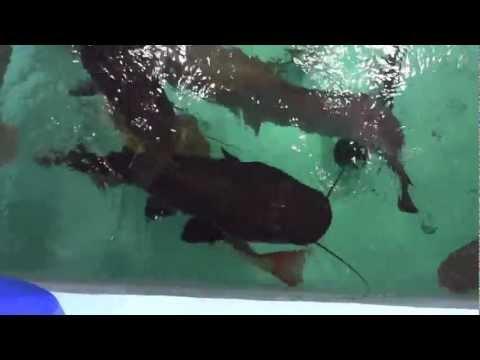 ピラルク飼育☆餌の蛙1 Arapaima gigas Food frag