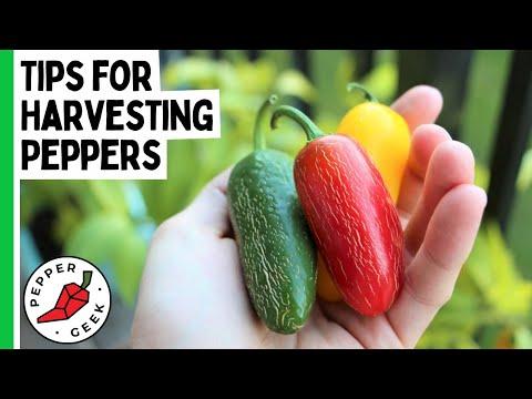 Tips for Harvesting Peppers – Pepper Geek