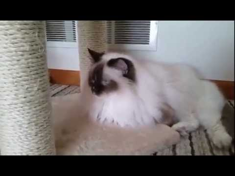 """My first Ragdoll Cat """"Chococlate Point Mitted Savanah"""""""
