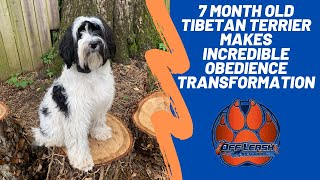 Asheville Dog Trainers  7 Month Old Tibetan Terrier Makes Incredible Obedience Transformation
