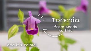 Menanam Torenia dari Benih sampai Berbunga (dan jadikan garnish)  My Calm Diary