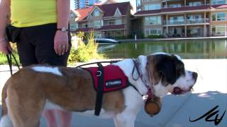 St  Bernard -  Going To The Dog's  Kelowna Style -  Youtube