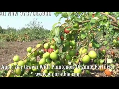 Apple Ber with Plantonics Organic fertilizer