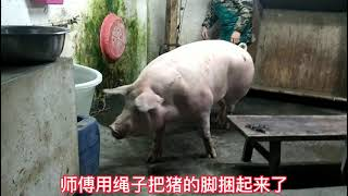 Pig Slaughter - Killing Pigs With This Method, One Person Is Enough