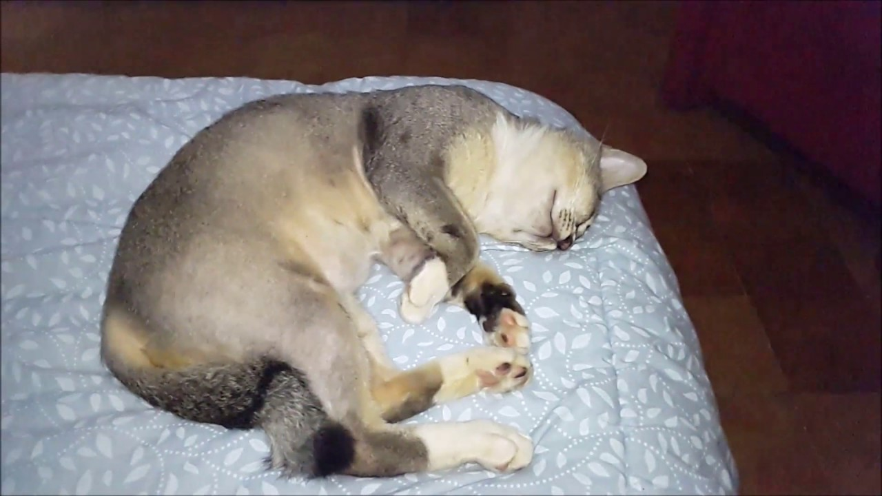 Nuansa Kucing Ponco Penyebab Kucing Tidur Terus Menerus Youtube