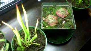 Carnivorous Plants Setup Early Spring 2012