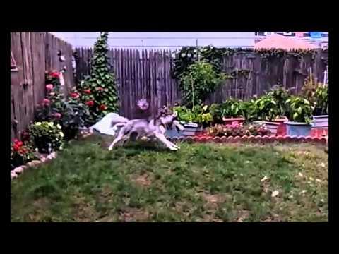 siberian husky; barking & zoomies over plastic