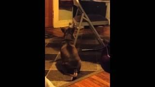 Chihuahua Terrier Dachshund Mix Barking Hd