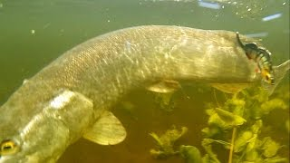 Giant monster pike fish attacks fishing lure underwater & broke steel snap. モンスター魚の攻撃