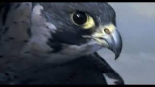 Repeat youtube video Peregrine Falcon Sky Dive - Inside the Perfect Predator - BBC