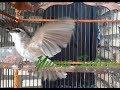 Trucuk Apapun  Nyaut Gacor Dengan Pancingan Trucuk Garuda Dan Gacor  Mp3 - Mp4 Download
