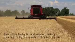 Briess Barley Harvest in Ralston, Wyoming