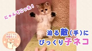 突然目の前に現れた敵(手)に驚いてバンザイしちゃう子ネコが可愛い♡【ちょこっと休憩タイム】