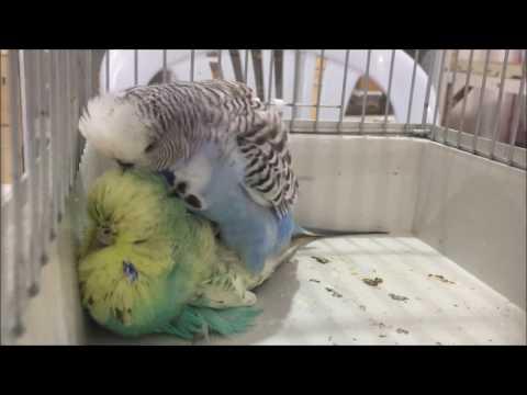 Muhabbet Kuşları Kaç Aylıkken Çiftleşir ve Yumurta Yaparlar?