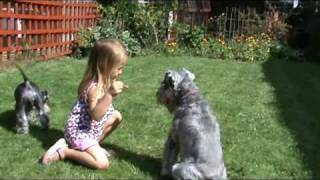 The Miniature Schnauzer Puppy From Lilysall.co.uk