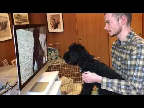 Schnoodle puppy watching dog video