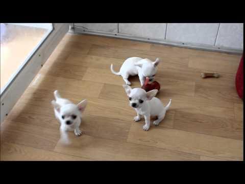 Белые щенки чихуахуа