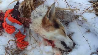 Волки сняли собаку с гона.