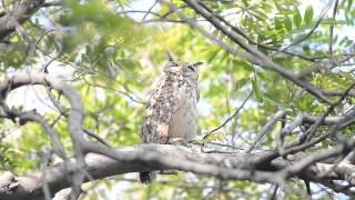 Indian Eagle Owl Clear shot.