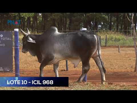 LOTE 10 - ICIL 968 - GUZERÁ
