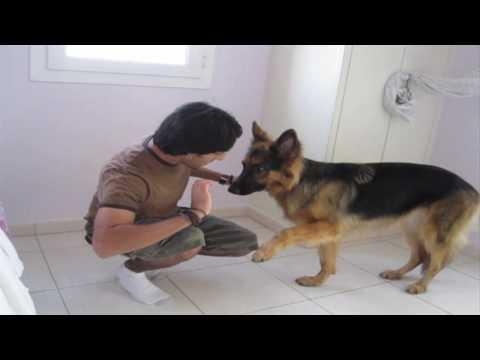 Dog trick tutorial: How to teach a dog to LIMP!!