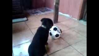 Bobo Rottweiler Yavru
