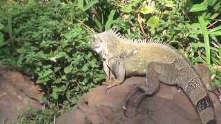 Zania the iguana eating in the garden, doing her own thing