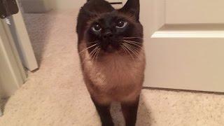 Сиамский кот Басё любит штаны с дырками на коленях =^..^= СИАМСКИЕ КОШКИ