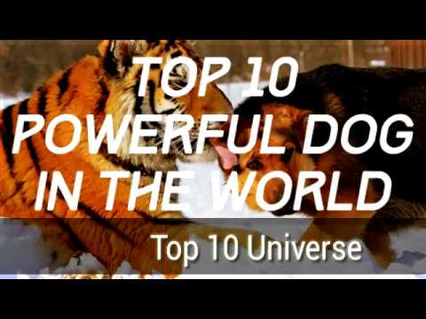 Top 10 Most powerful dogs in the world