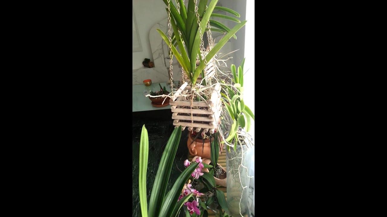 orchidee vanda keiki