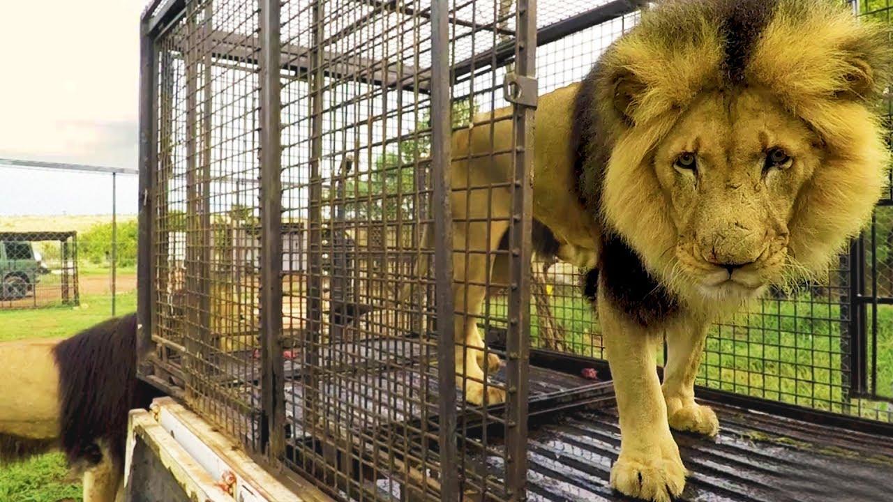 moving-day-the-lion-whisperer