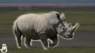 5 Animals That Could Defeat A Rhino