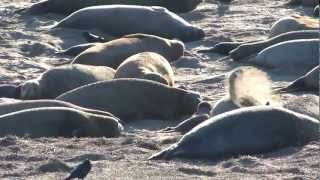Elephant Seals, Año Nuevo, January 13, 2013