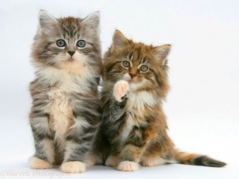 Animal Planet  : Cats 101 ~ Maine Coon