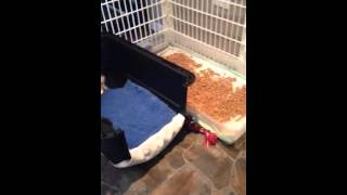 Newborn Puppy Pen Litter Training Part 3