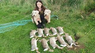 Rabbit control ferreting with terriers