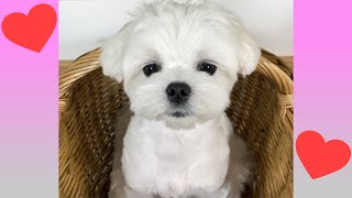 THE TRUTH ABOUT OUR MALTESE DOG! (EMOTIONAL)