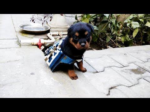 Rottweiler Puppy fight : cuteness overloaded [ Roxy ]