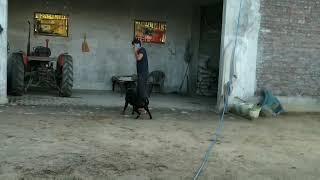 Rott weiler champion Playing football (mitthu)