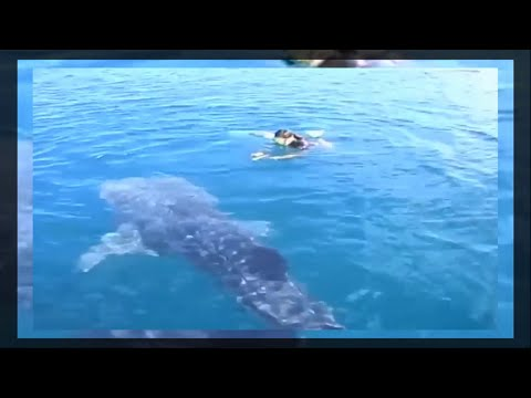 You swim with the whale shark unique experience for northwest Mexico visitors
